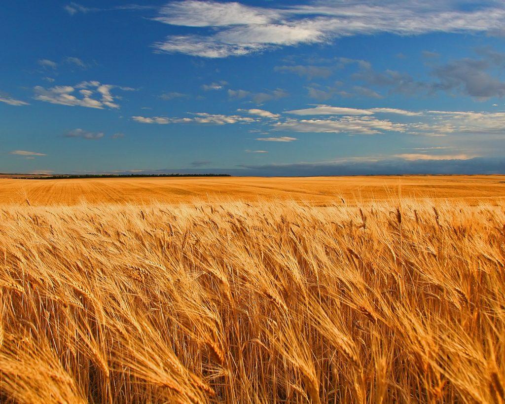 a wheat field in Saskatchewan
